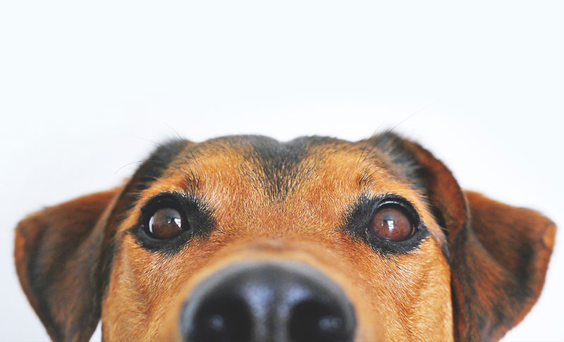 A super close-up photo of a dog's eyes, nose and ears.