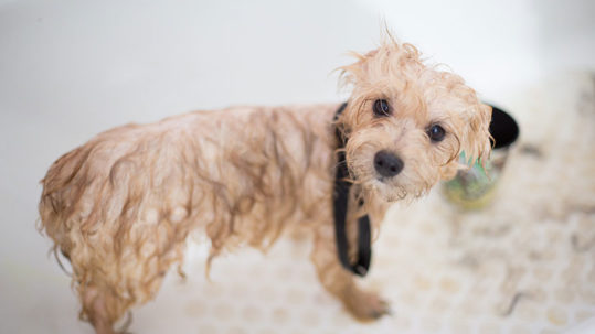 A wet dog standing in a bath tub.