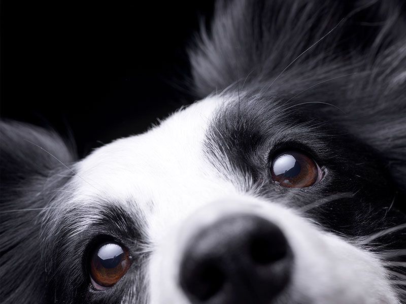 A close up photo of a black and white dog's face.