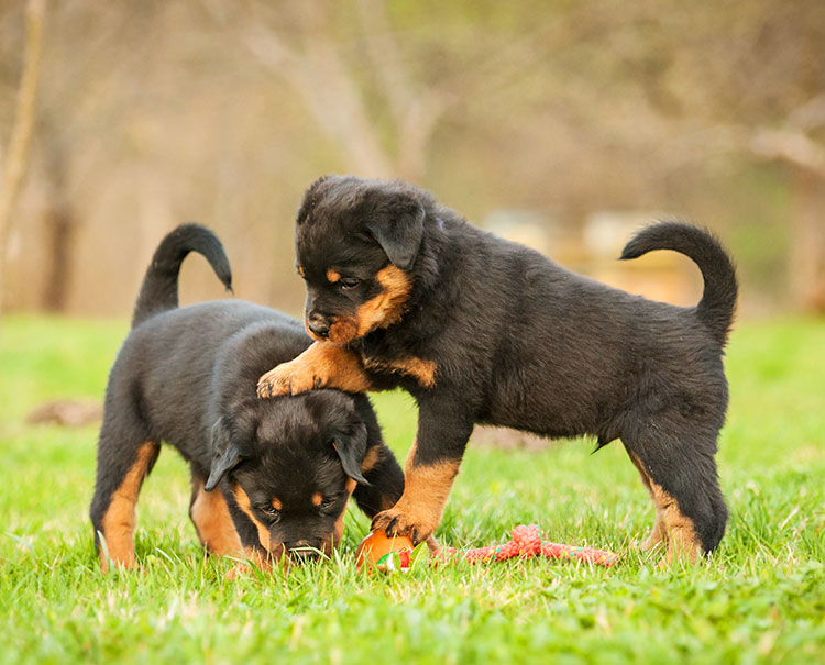 To Rottweiler puppies playing together in some grass.