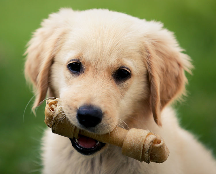 A Labrador puppy holding a treat in his mouth.