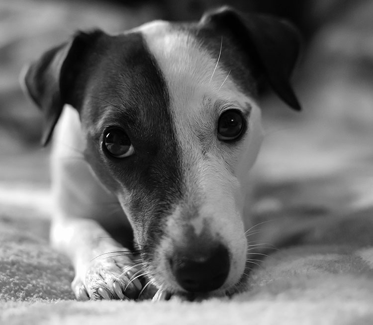 A close up photo of a Jack Russell laying down.