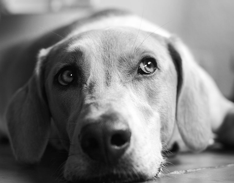A close up photo of a dog laying down.