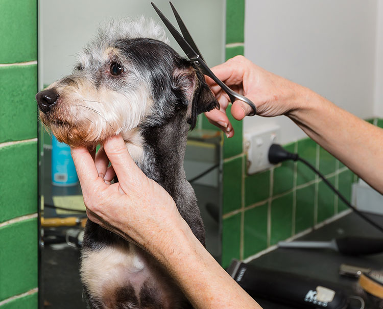 A dog having his hair groomed by the Tallebudgera Veterinary Clinic groomers.