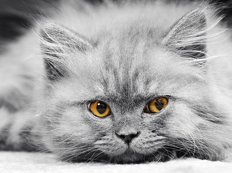 A close up photo of a fluffy, grey cat with bright orange eyes.
