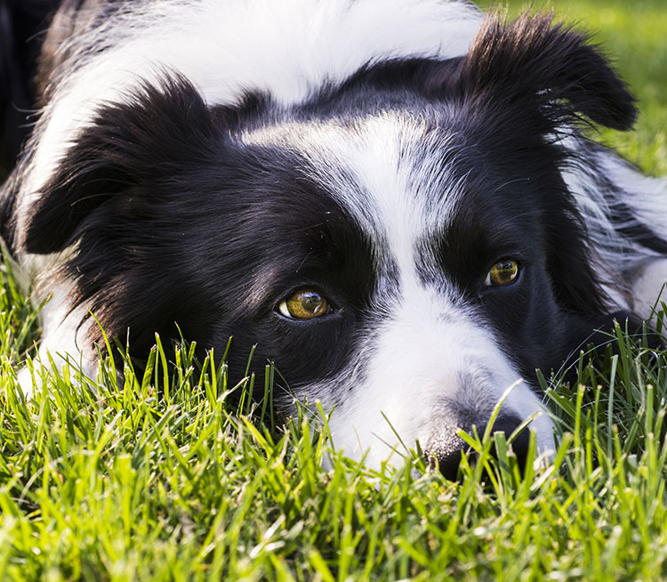 A Border Collie laying on some grass.